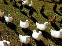 Le besoin de canards d'être alimenté Photos libres de droits