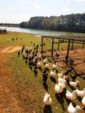 Le besoin de canards d'être alimenté Image libre de droits