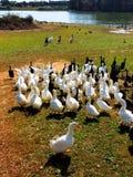 Le besoin de canards d'être alimenté Photographie stock libre de droits