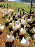 Le besoin de canards d'être alimenté Photographie stock