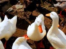 Le besoin de canards d'être alimenté Image stock