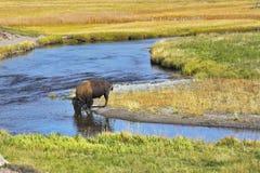 Le bevande del bisonte Immagini Stock