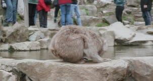 Le bevande della scimmia della neve da onsen, sorgente di acqua calda, con i turisti nei precedenti video d archivio