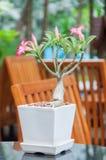 Le Bignonia rose, désert a monté, lis d'impala Photographie stock