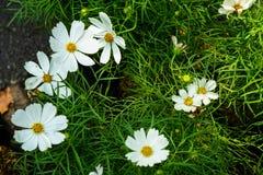 Le bipinnatus blanc de cosmos fleurit la floraison parmi les feuilles vertes de retour Photos libres de droits