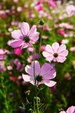Le bipinnatus rose de cosmos Photographie stock libre de droits