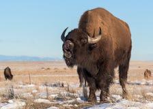 Le bison américain sur la neige a couvert de hautes plaines du Colorado Photos libres de droits