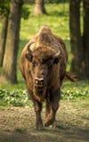 Le bison européen, également connu sous le nom de wisent ou bison en bois européen Photographie stock