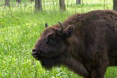 Le bison européen Photographie stock