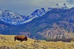 Le bison se tient dans le paysage grand du parc national de Yellowstone Image libre de droits