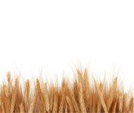 Le blé égrappe l'interne Images libres de droits