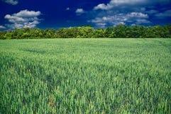 Le blé Images stock