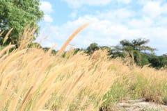 Le blé aiment l'mauvaise herbe Photo stock