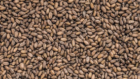 Le blé dans un plan rapproché de plat Image libre de droits