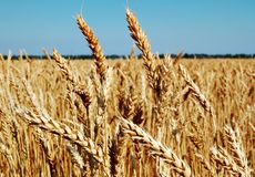 Le blé est pain, pain est durée Photo stock