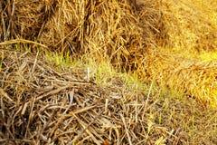 Le blé poussé Photographie stock libre de droits
