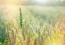 Le blé vert, blé non mûr s'est allumé par lumière du soleil - champ de blé Images libres de droits