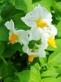Le blanc avec la pomme de terre jaune fleurit sur le fond vert de feuillage photo libre de droits