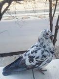 Le blanc avec le pigeon de race de taches de gris se repose sur la fenêtre Photographie stock