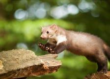 Le blanc brasted le martre sautant sur le bois - foina de Martes Images stock
