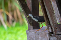 Le blanc breasted le waterbird de Waterhen marchent du balcon en bois Images libres de droits