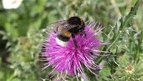Le blanc coupé la queue gaffent l'abeille, terrestris de bombus clips vidéos