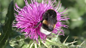 Le blanc coupé la queue gaffent l'abeille, terrestris de bombus banque de vidéos