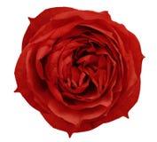 Le blanc de fleur de rose de rouge a isolé le fond avec le chemin de coupure Plan rapproché aucune ombres photographie stock libre de droits