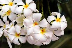 Le blanc de Plumeria Photographie stock