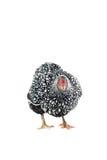 Le blanc de poulet de Wyandotte a lacé d'isolement à l'arrière-plan blanc Photo stock
