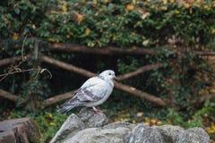 Le blanc et le gris ont fait varier le pas du pigeon se reposant sur une roche Photographie stock