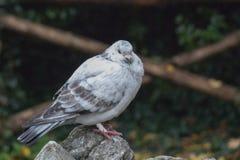 Le blanc et le gris ont fait varier le pas du pigeon se reposant sur une roche Images libres de droits