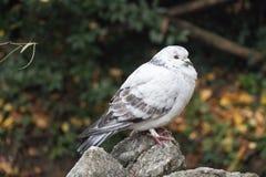 Le blanc et le gris ont fait varier le pas hérissé vers le haut du pigeon se reposant sur une pierre Image stock