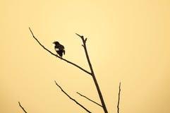 Le blanc a exhalé les oiseaux noirs de Myna étant perché sur la branche, oiseau de la Thaïlande Photos stock