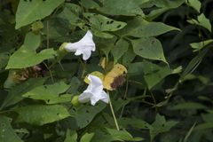 Le blanc fleurit lilly entouré par des feuilles Photo libre de droits