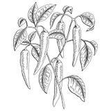 Le blanc graphique de noir de buisson de poivre de piments a isolé l'illustration de croquis Images stock
