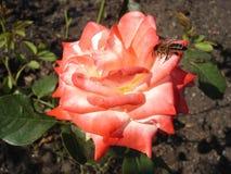 Le blanc hybride de thé a coloré rose a monté 'Nostalgie' avec l'abeille Images libres de droits