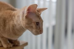 Le blanc jaune de race de portrait de chat ombrage le fond Image stock