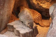 Le blanc noir animal réuni de mangouste a isolé la carnivore mammifère de nature de l'Afrique Photo stock