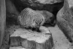 Le blanc noir animal réuni de mangouste a isolé la carnivore mammifère de nature de l'Afrique Photographie stock libre de droits