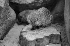Le blanc noir animal réuni de mangouste a isolé la carnivore mammifère de nature de l'Afrique Images stock