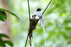 Le blanc paradisi de Terpsiphone de FLYCATCHER asiatique de paradis morph le bébé de nid photo libre de droits