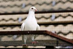 Le blanc a plongé dans la cage d'élevage Photographie stock libre de droits