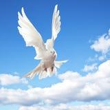 Le blanc a plongé en vol Image libre de droits