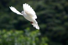 Le blanc a plongé en vol Photos libres de droits