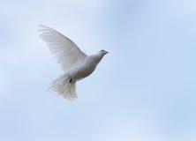 Le blanc a plongé en vol Photo stock
