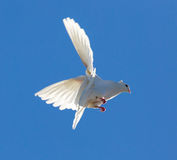 Le blanc a plongé en vol contre un ciel bleu Images libres de droits