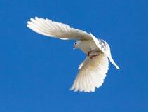 Le blanc a plongé en vol contre un ciel bleu Photo libre de droits
