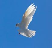 Le blanc a plongé en vol contre un ciel bleu Photographie stock
