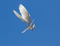 Le blanc a plongé en vol contre un ciel bleu Photo stock